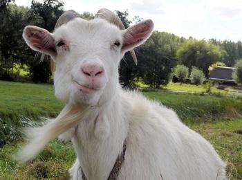 笑う山羊.jpg