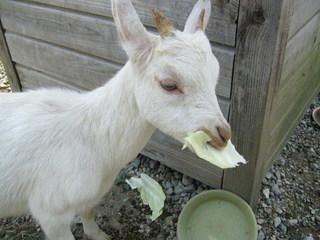 山羊が紙を食べる.jpg